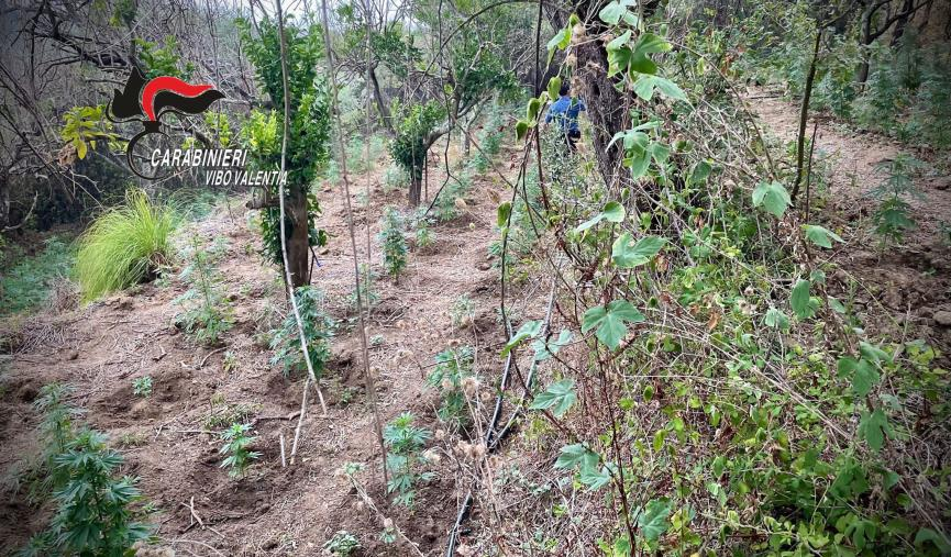 images Vibo Valentia. I carabinieri scovano una piantagione di marijuana attrezzata e nascosta tra alberi ed erbacce: estirpate 236 piante
