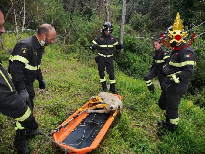 images Falerna. I Vigili del fuoco salvano un Pastore Maremmano caduto in un fiume: il cane è rimasto ferito agli arti inferiori