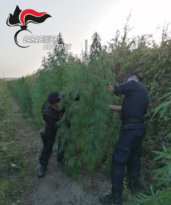 images Crotone. Beccato un 60enne con il vizio della marijuana: scoperto mentre 'lavorava' ad una piantagione