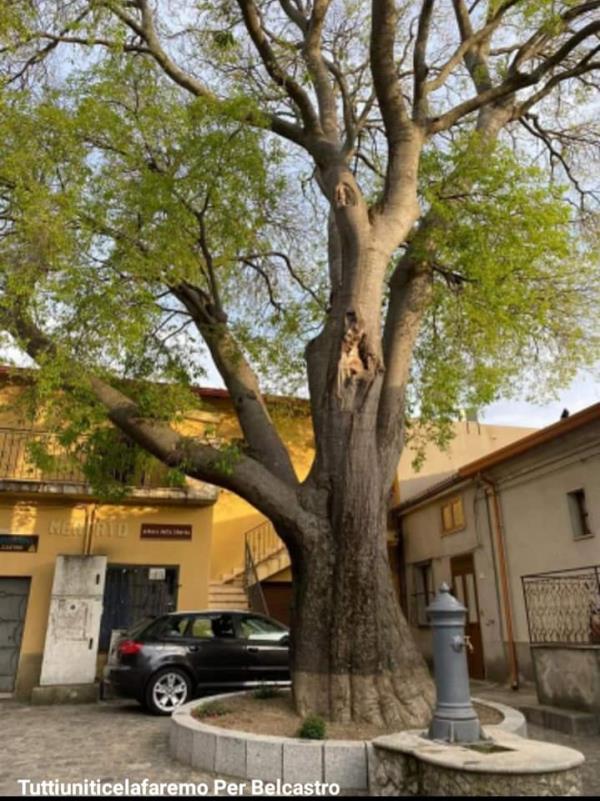 """images Il """" Milicurcio"""" di Belcastro entra nell'elenco degli alberi monumentali"""