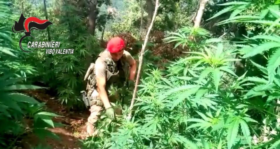 images Nuova operazione antidroga nel Vibonese: scoperta una piantagione di circa 200 piante di cannabis