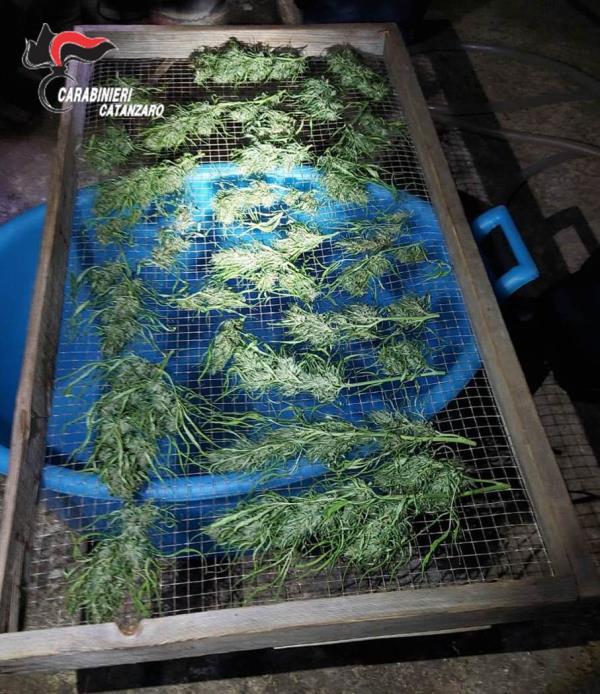 images Soveria Mannelli, coltivava droga nel suo terreno, 52enne in manette. Denunciata la moglie