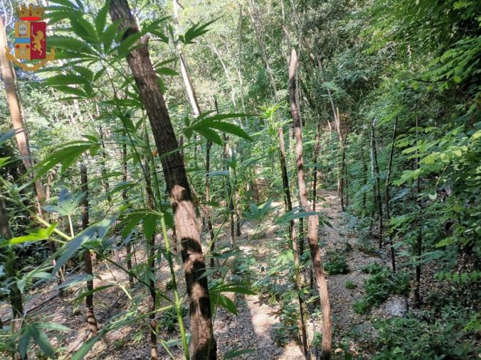 images Piantagioni di marijuana di oltre due metri a Serra San Bruno: sequestrati 100 esemplari