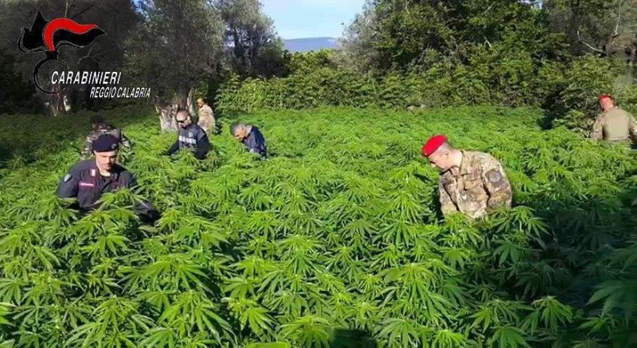 images San Giovanni di Gerace, beccato con una piantagione di marijuana nell'area demaniale: arrestato un 55enne