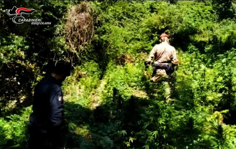 images Cinquefrondi: rinvenuta una piantagione di marijuana sull'alto piano della Limina