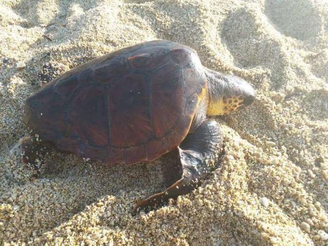 images Monasterace, Taverniti racconta lo spettacolo delle tartarughe Caretta Caretta