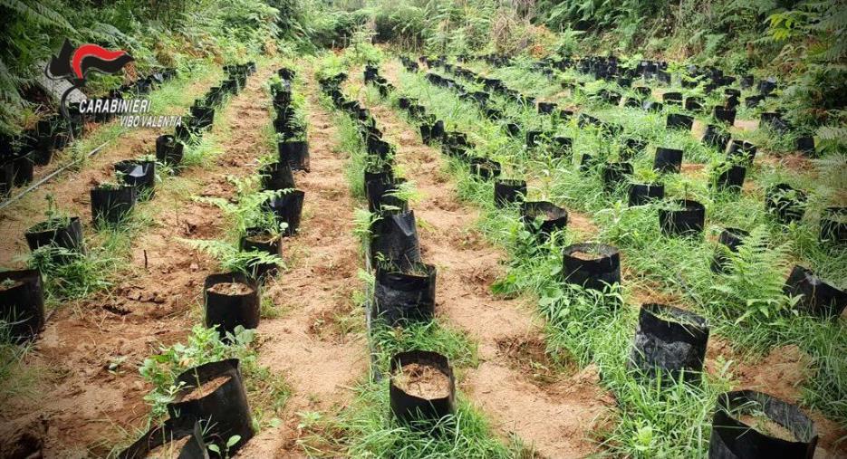 images Un vivaio della marijuana ad Ariola di Gerocarne, nell'entroterra vibonese: sequestrate 3000 piantine
