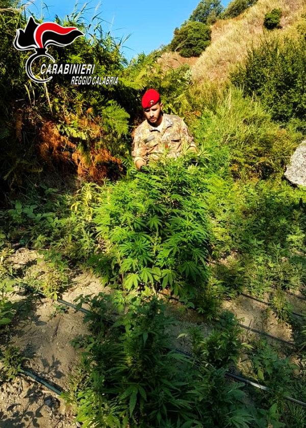images Grotteria. Rinvenuta una piantagione di canapa indiana nana