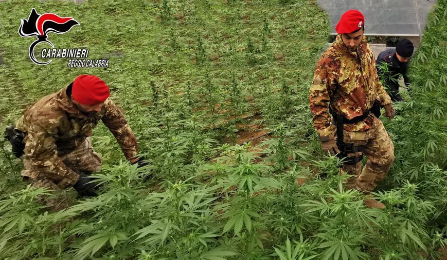 images Anoia. Individuata una piantagione di marijuana di 125 piante
