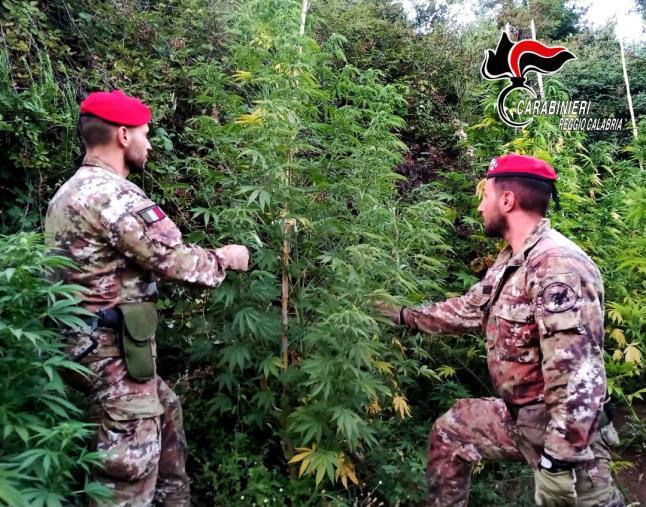 images Cosoleto: i carabinieri sequestrano 100 piante di marijuana
