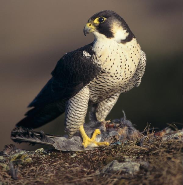 images Soccorso un falco pellegrino ferito a fucilate nel Reggino