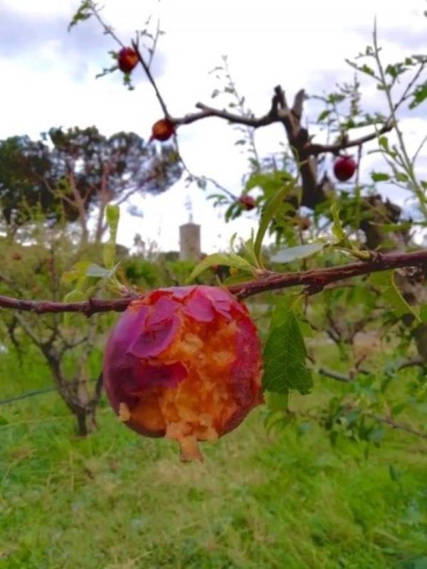 Nubifragio e grandinata nel cosentino: ingenti danni alle coltivazioni