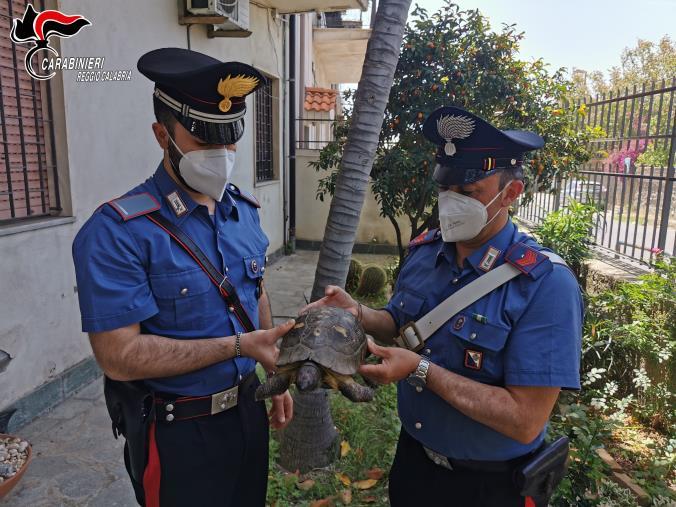 images Gallico. Ritrovata e messa in salvo dai carabinieri una tartaruga centenaria