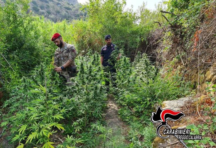 images Gioiosa Jonica. Scoperta piantagione di canapa: in manette tre giovani