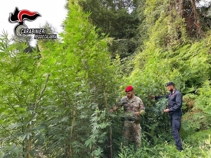 images Mammola. Scoperta e distrutta una piantagione con 300 piante di marijuana