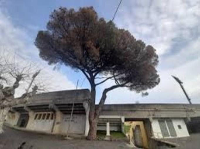 """images Catanzaro. Abbattimento del pino allo Stadio, Costanzo: """"Cadono uno dopo l'altro i simboli di una città che era più felice di quella di adesso"""""""