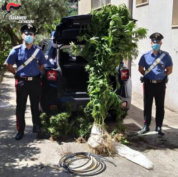 images Soveria Mannelli. Coltivava cannabis tra gli ortaggi, arrestato 57enne albese