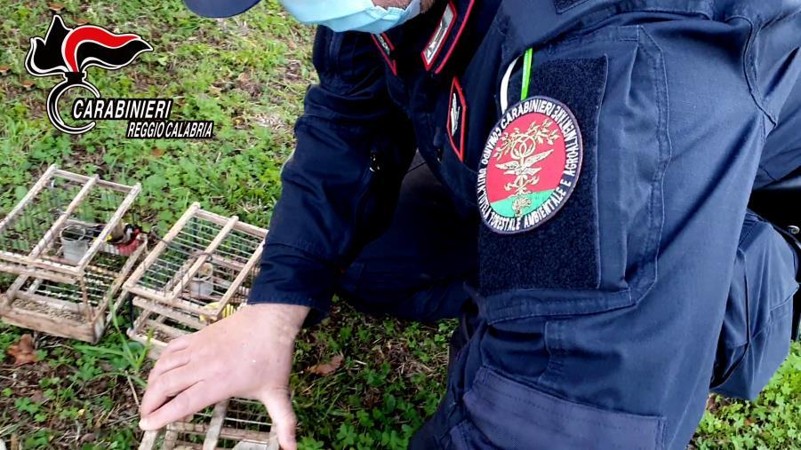 images Reggio Calabria, deteneva illegalmente 18 cardellini: denunciato