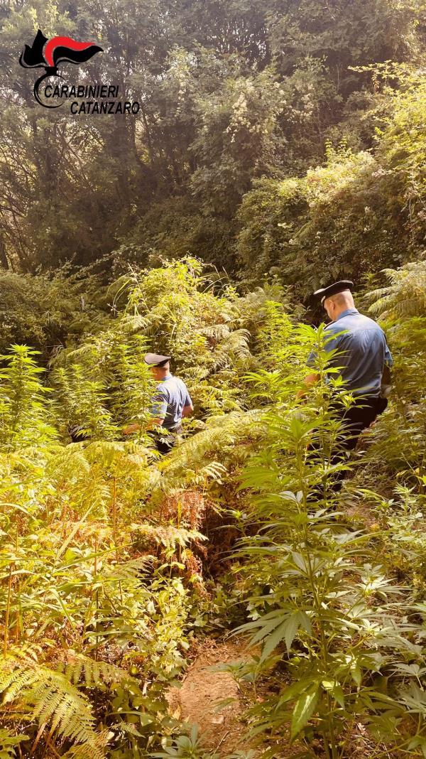 images Tiriolo. I carabinieri scoprono ed estirpano una piantagione di canapa indiana