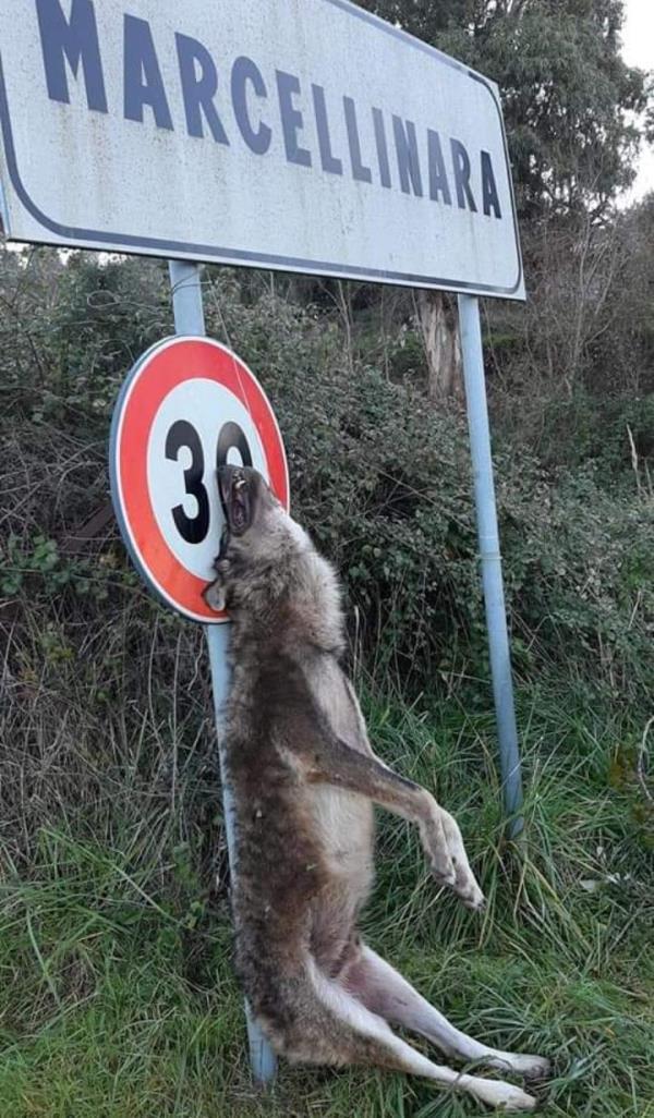 images Orrore a Marcellinara. Lupo impiccato al cartello stradale d'ingresso
