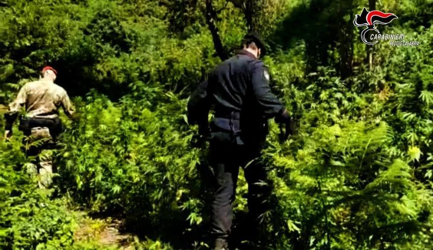 images Coltivano piantagione di marijuana all'interno del Parco nazionale d'Aspromonte: arrestati zio e nipote