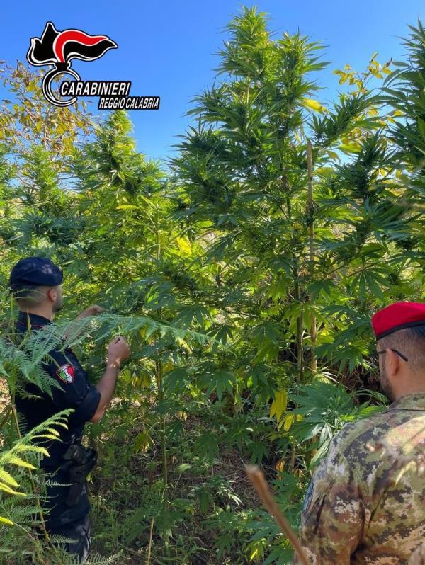 images Gioia Tauro. Trovata una piantagione di 240 piante di marijuana: i carabinieri arrestano tre persone