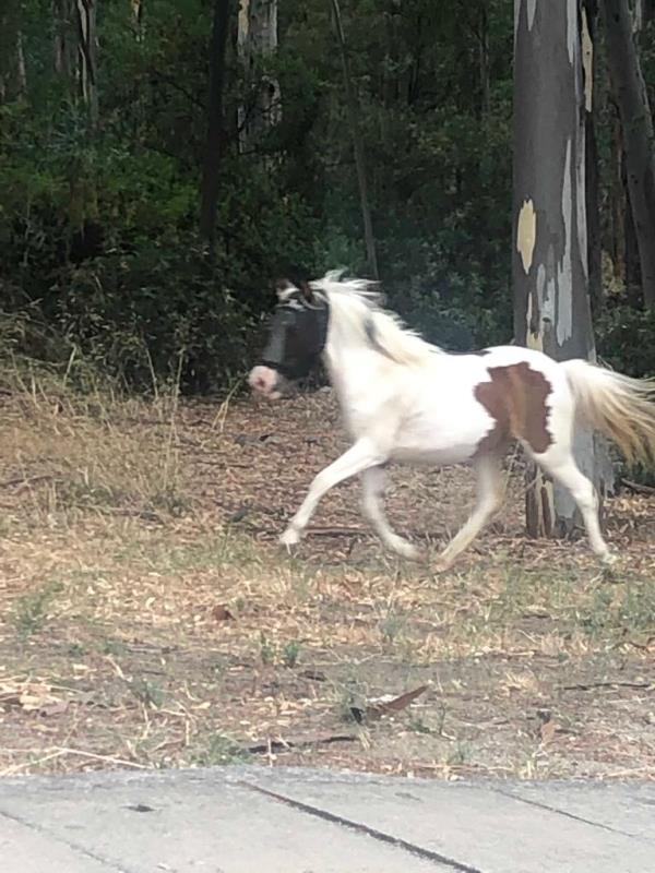 images Un cavallo in giro per le strade di Sellia Marina