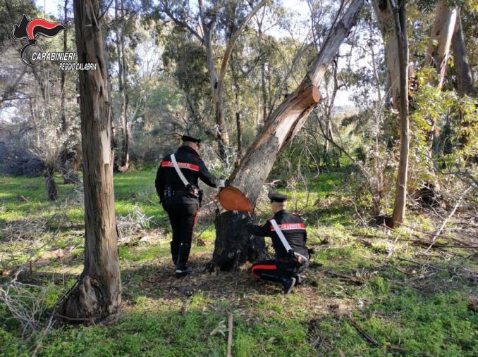 images Tagliavano 10 quintali di legna di eucalipto nel Reggino: in due finiscono ai domiciliari