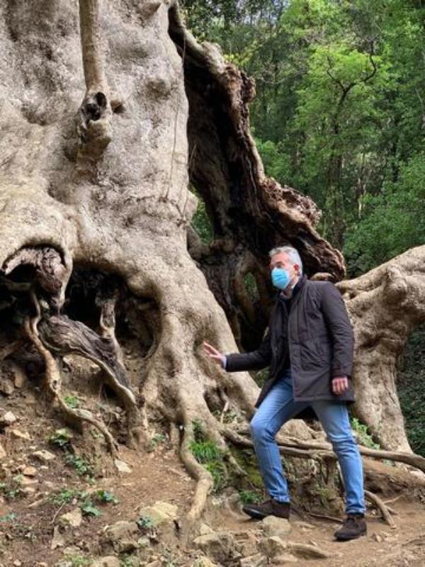 """""""Tree of the year"""", la Regione sostiene la corsa del platano di Curinga"""