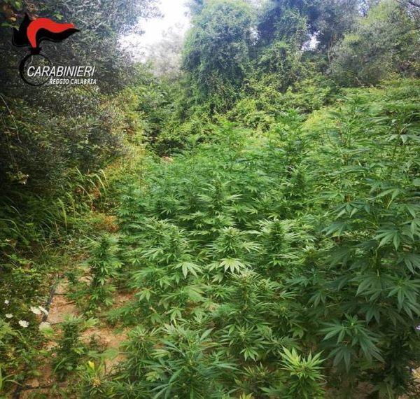 images In fumo un'altra piantagione di marijuana a Locri