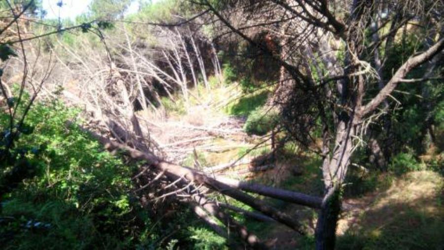 images La strana strage di alberi nella Pineta di Siano