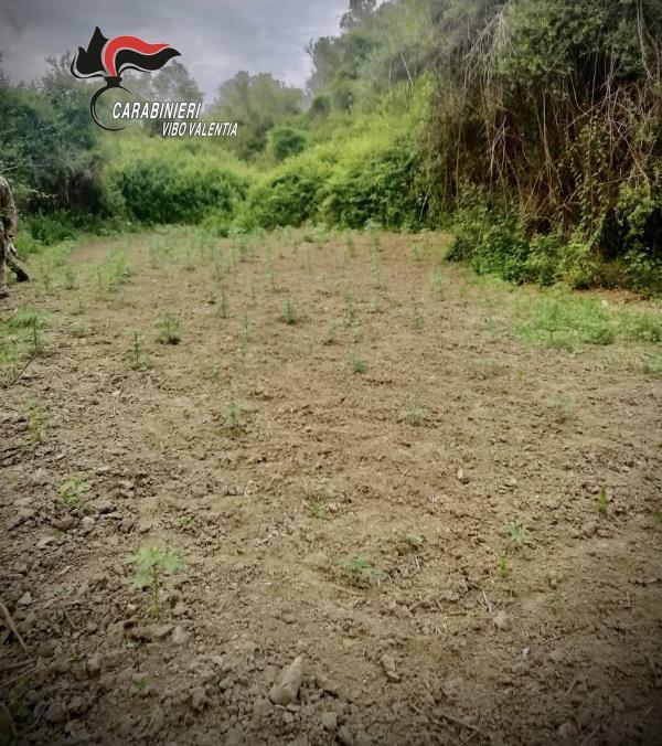 images Dasà: trovata dai carabinieri una piantagione di Canapa olandese