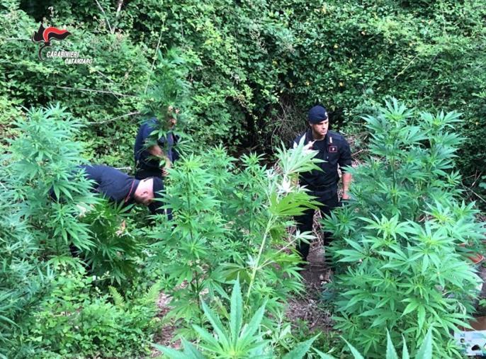 images Droga, scoperta piantagione nascosta nella zona montana di Sambiase