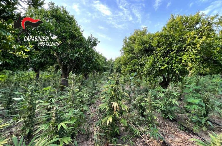 images San Calogero. Sequestrate 10 mila piante di canapa indiana: in manette un 57enne
