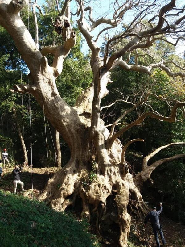 """images Platano Millenario di Curinga, l'appello di Marino (Vitambiente): """"Votiamo entro stasera per farlo diventare albero Europeo 2021"""""""